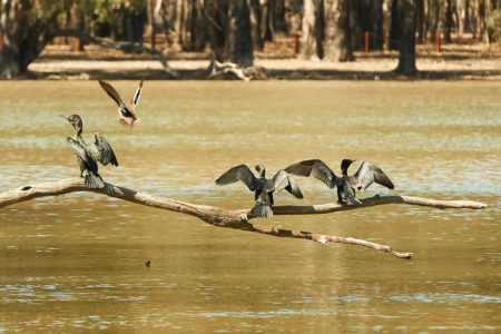 Birds on the Murray River