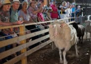 Murray Princess passengers enjoy a sheep herding event