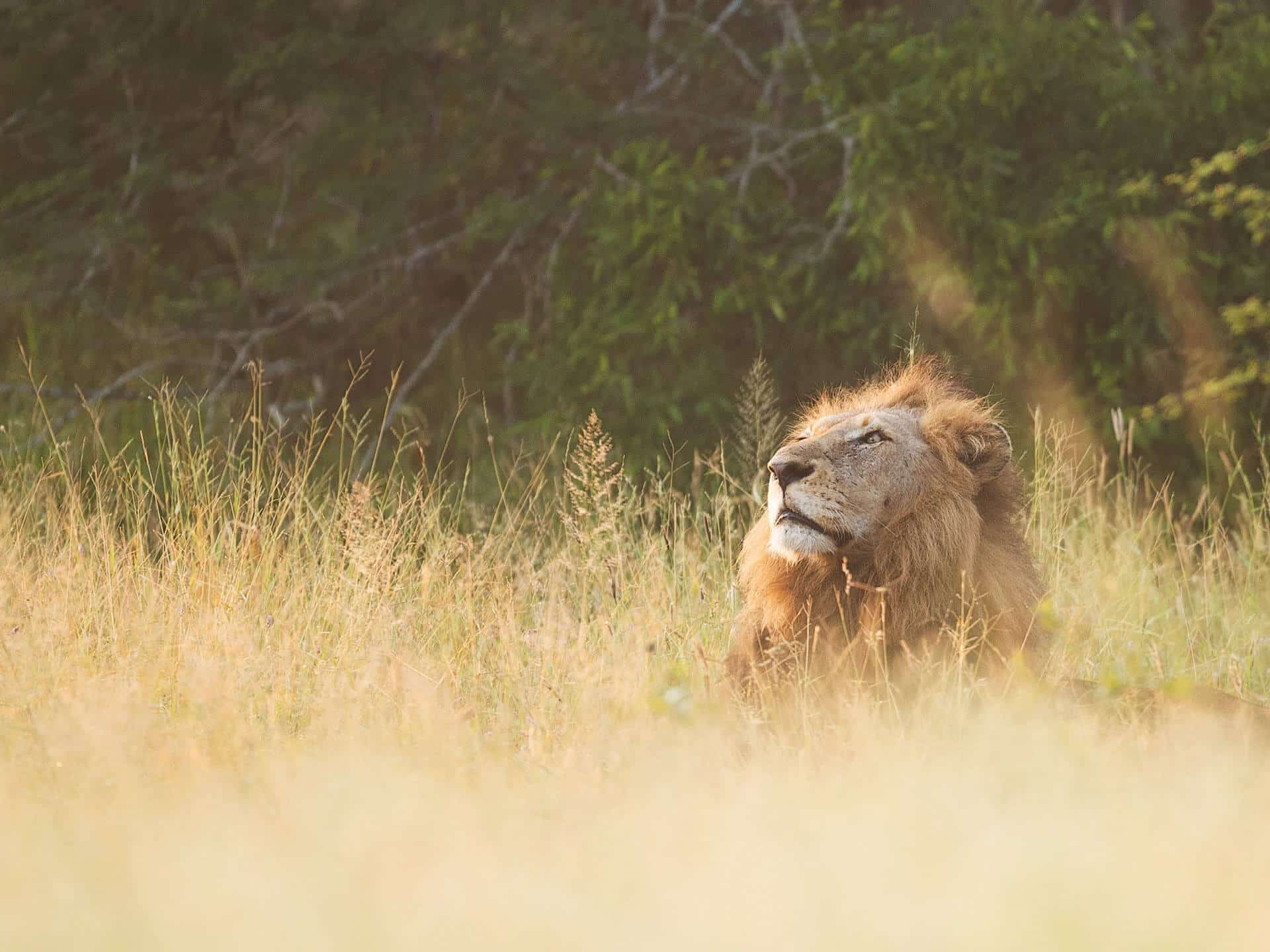 Lion lying in grass in safari part